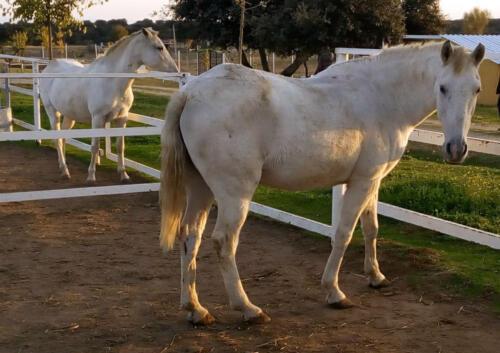 21-caballo