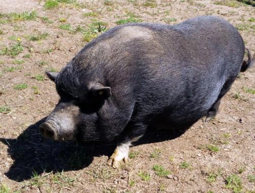 21-cerdo